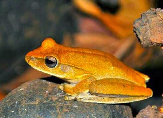 Hypsiboas-paranaiba-perereca-sapo-anfíbio