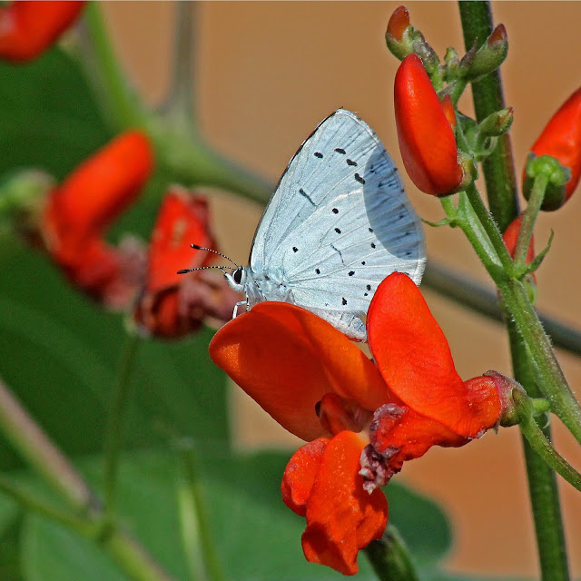 Small Blue Butterfly (Lycaenidae) - buy print