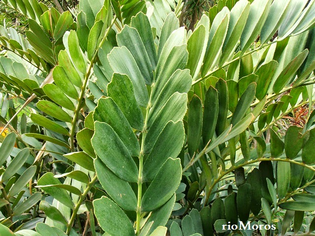 Zamia zamia furfuracea plantas riomoros for Planta ornamental zamia
