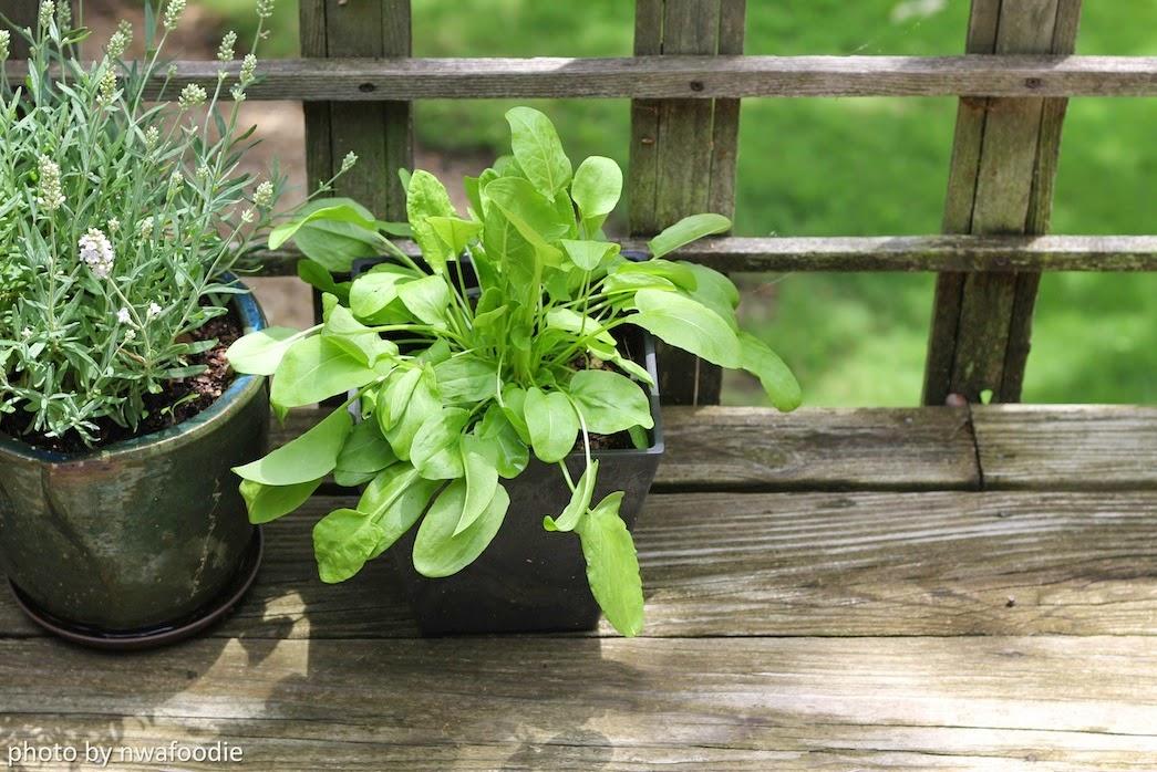 sorrel herb plant in June (c)nwafoodie