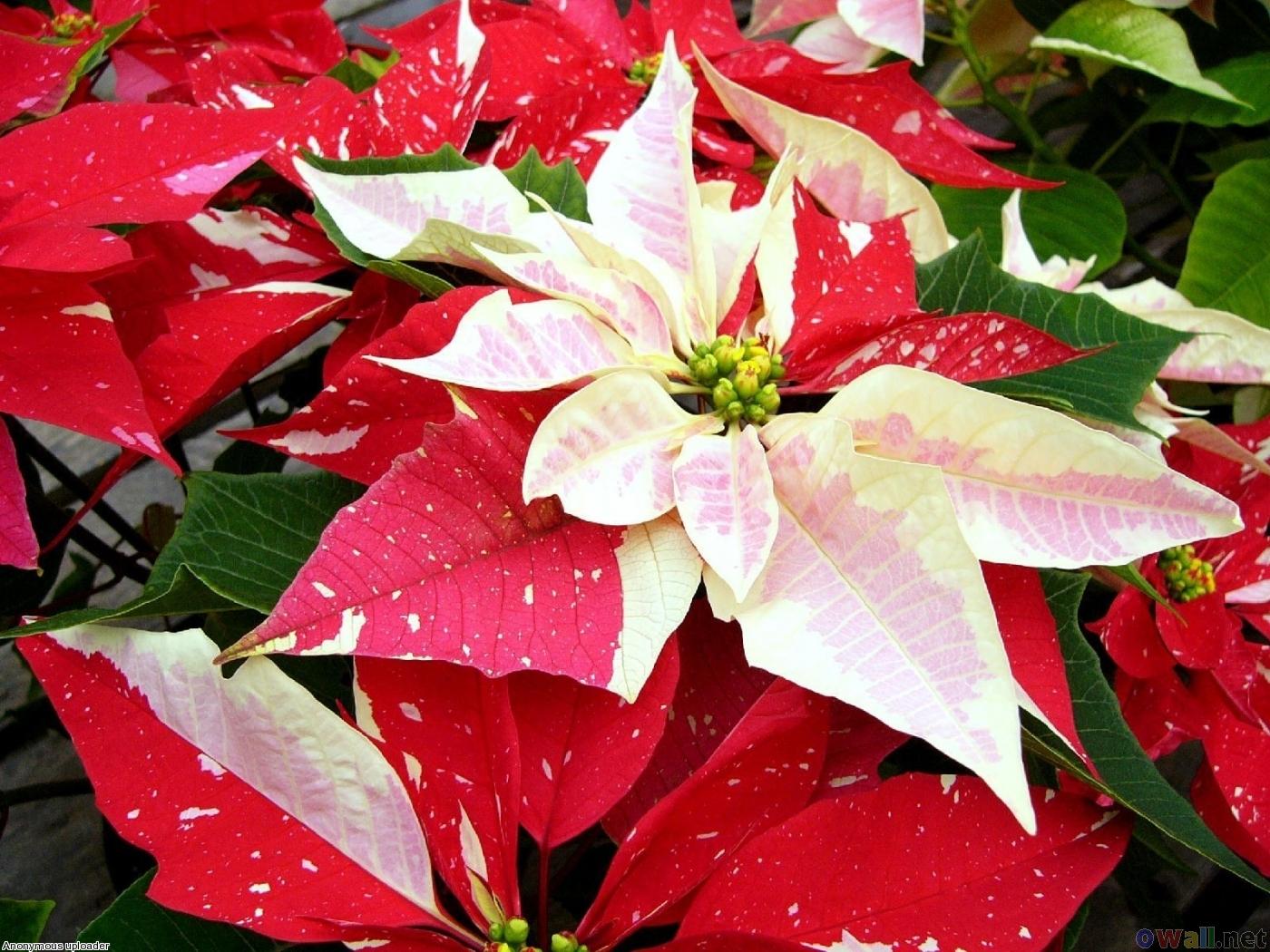 Canada Floral Delivery Blog Pointsettias