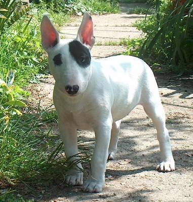 E Cattivo Il Bull Terrier L  American Pit Bull Terrier