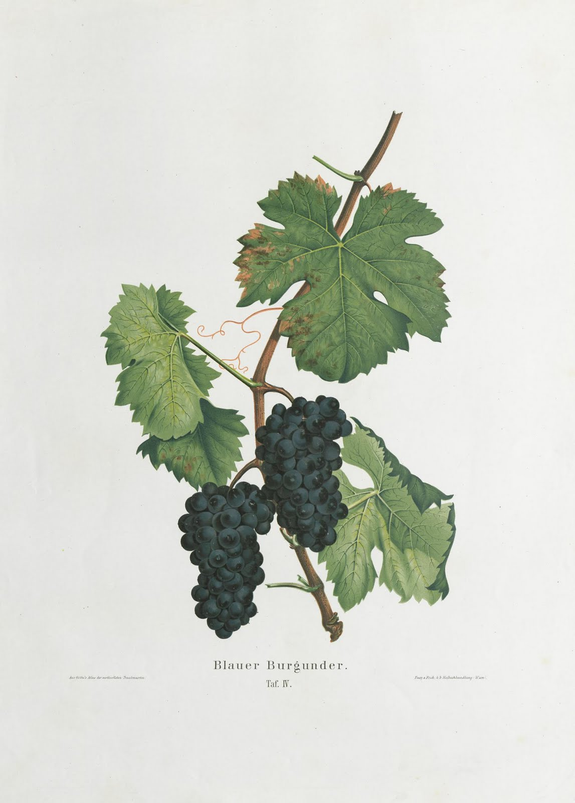 book illustration of a bunch of grapes