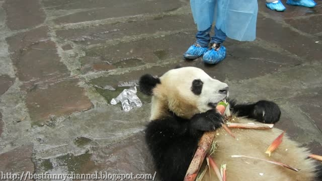 Funny panda eats.