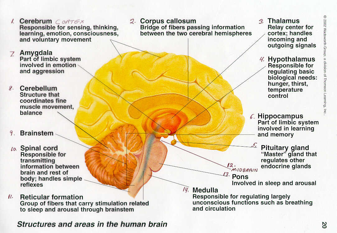 the anatomy and functions of the human brain The human brain is the central organ of the human nervous system, and with the  spinal cord  the study of the anatomy of the brain is neuroanatomy, while the  study of its function is neuroscience a number of techniques are used to study  the.