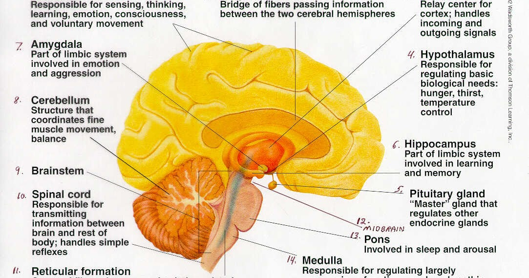 Awesome Brain Structure Ornament Human Anatomy Images