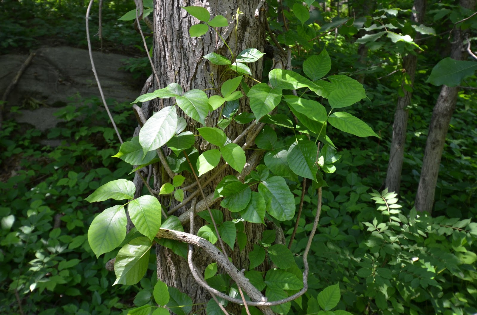 Wish i could find or buy bittersweet branches in our area don t - The Distinct Mitten Shape May Not Be As Pronounced As The Plant Above So Don T Assume A Symmetrical Side Leaflet Means It S Not Poison Ivy See Some Of The