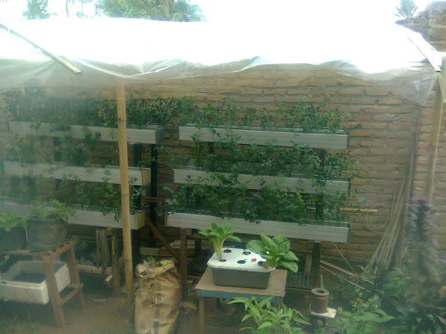 Seledri Hidroponik, Bertanam Tanpa Tanah