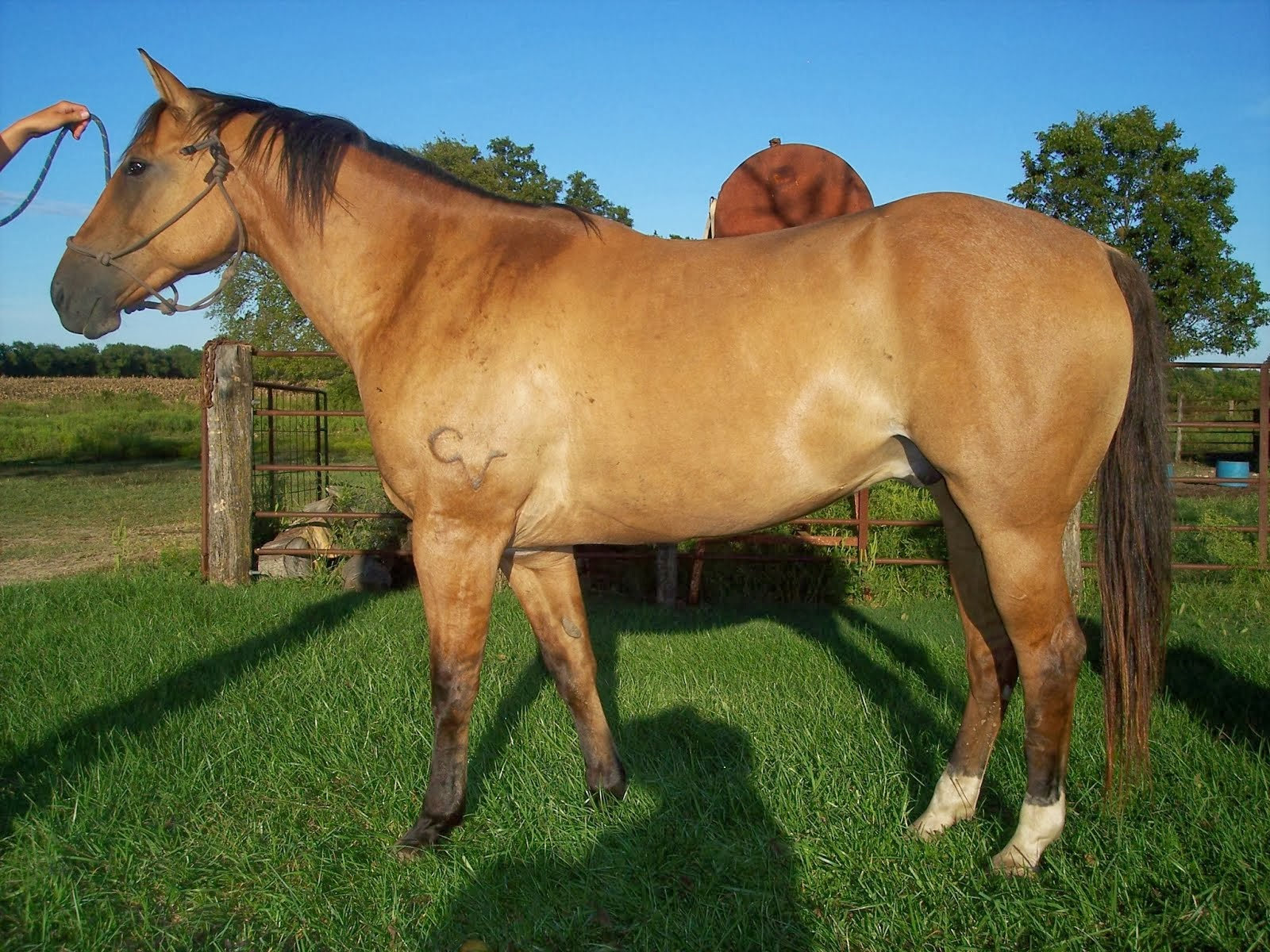 Our Horses - American Quarter Horse