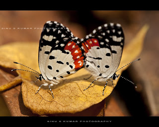 red pierrot butterflies mating