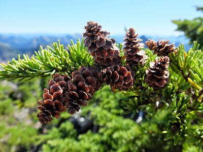 Tsuga mertensiana Cones – Western Slope of Gothic Peak