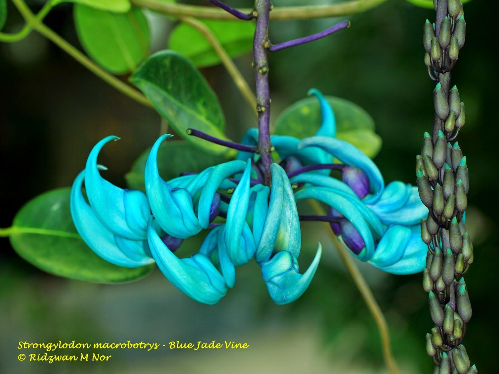 Strongylodon macrobotrys blue jade vine flowers around us by strongylodon macrobotrys blue jade vine izmirmasajfo