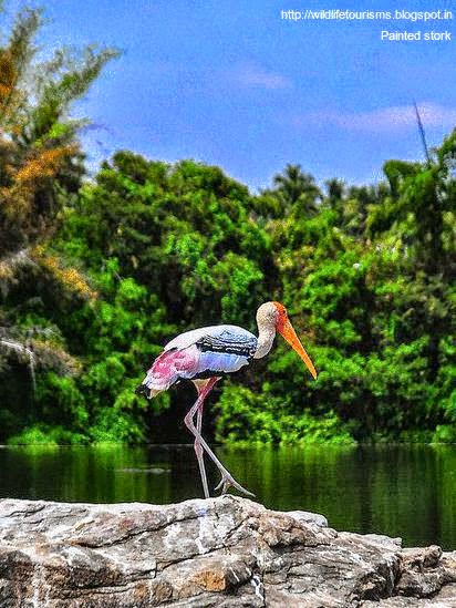 Painted stork in Okhla bird sanctuary