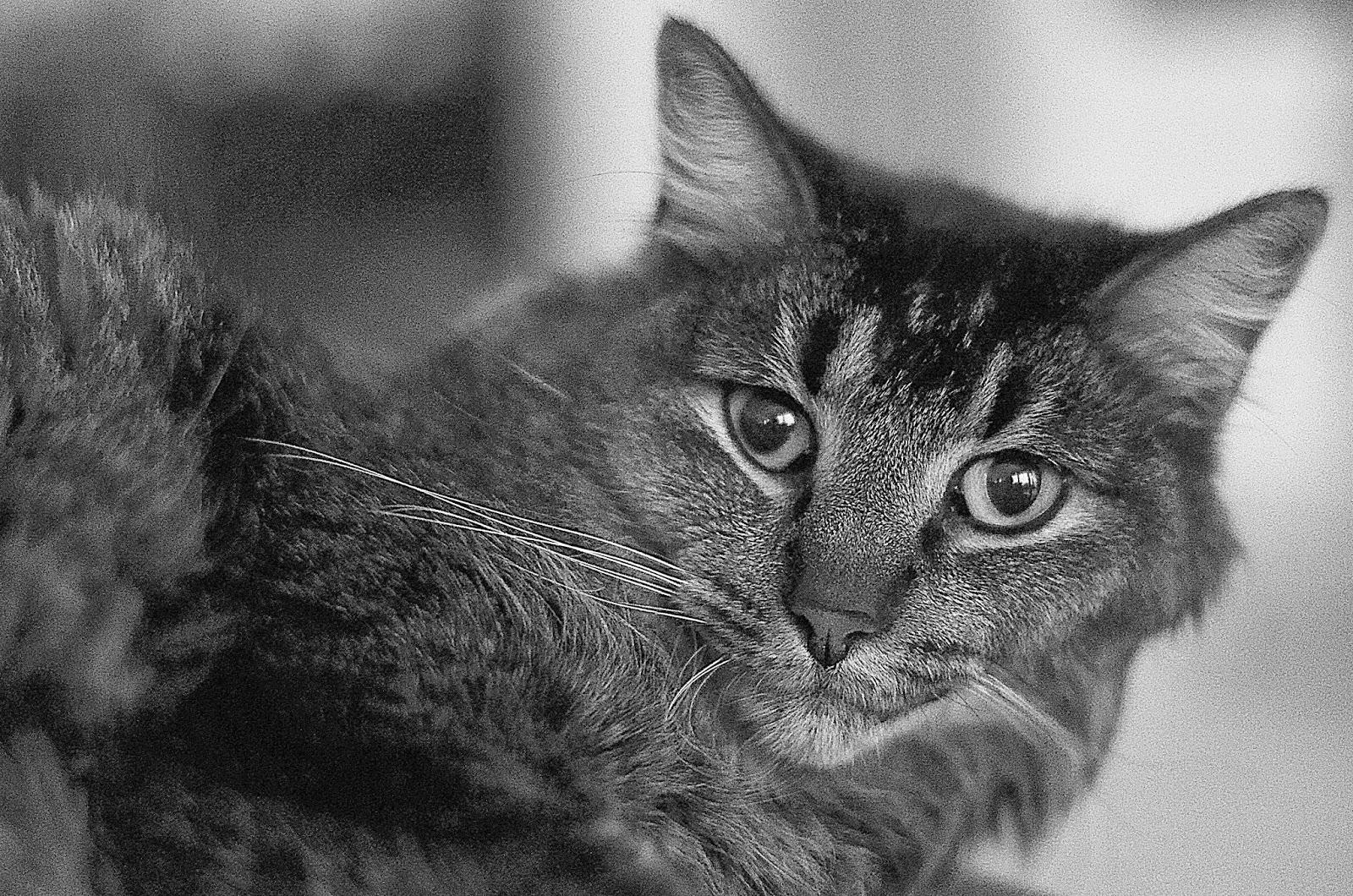 cat black and white photograph, katt, fotograf, photographer, close up, djur, husdjur, närbild, svartvit, svartvitt