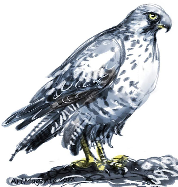 Gyrfalcon sketch painting. Bird art drawing by illustrator Artmagenta.
