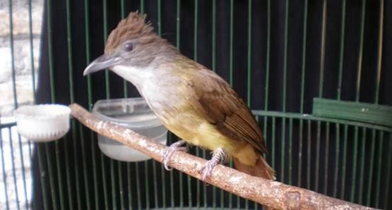 Download Mp3 Suara Kicau Burung Kapas Tembak Ngerol