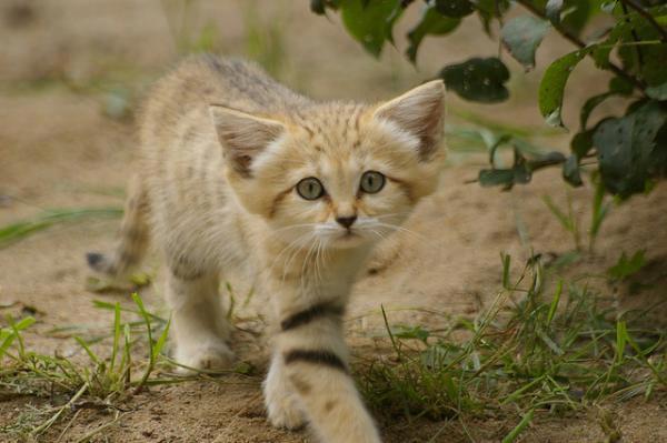 Little cat walking like a lion