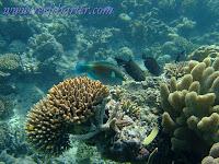 http://2.bp.blogspot.com/-xf0wfyapYTg/TpMQkH34obI/AAAAAAAAAm8/iPpH5HwONLs/s200/pesce%2Bparrot%2Bin%2Bbarriere%2Bcoralline.jpg