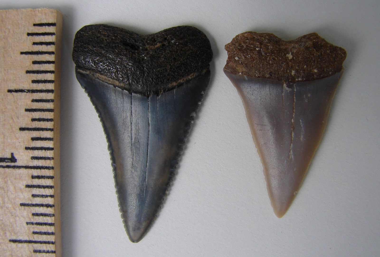 Image result for worn great white shark tooth