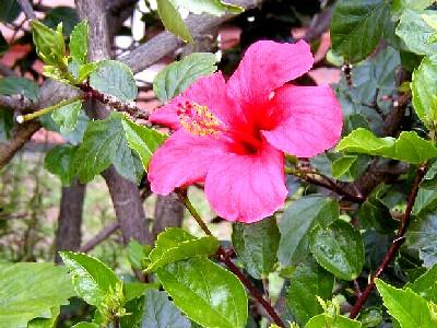 فوائد نبات الكركديه 2014