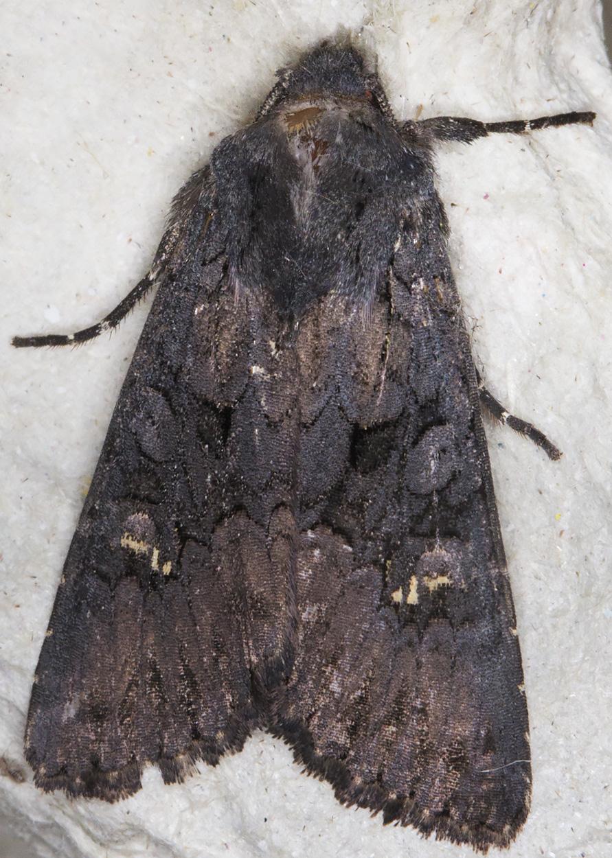 Black Rustic, Aporophyla nigra.  Hayes, 22 September 2014.