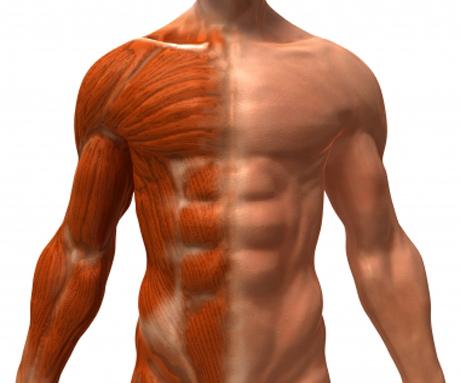 Fakta Menarik | Ada 600 Otot Pada Tubuh Kita
