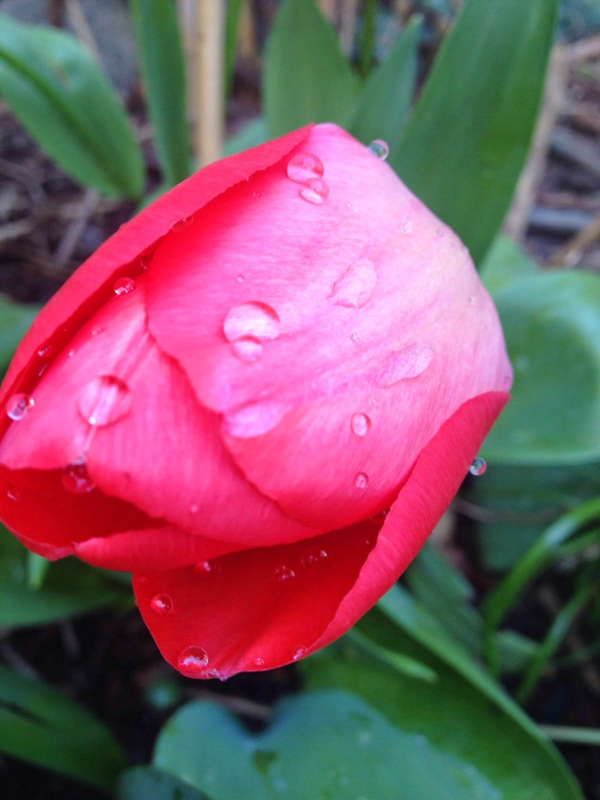 Tulip closed with raindrops