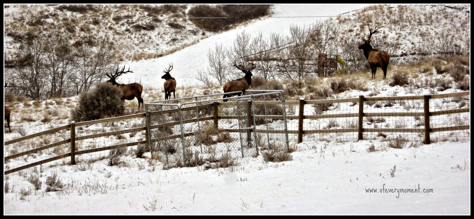 Elk, snow