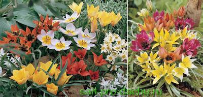 как вырастить: миниатюрные тюльпаны