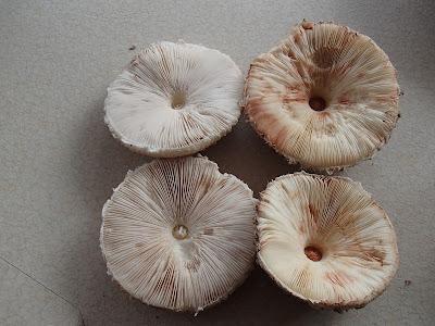 Czubajka gwiaździsta, Macrolepiota konradii, Macrolepiota rhacodes, czubajka czerwieniejąca