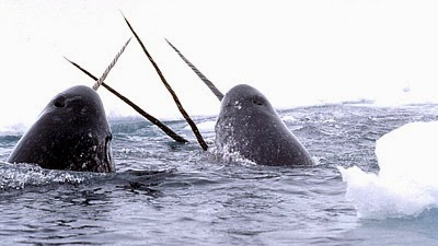 The Narwhal's Impressive Tooth – What is its Purpose?