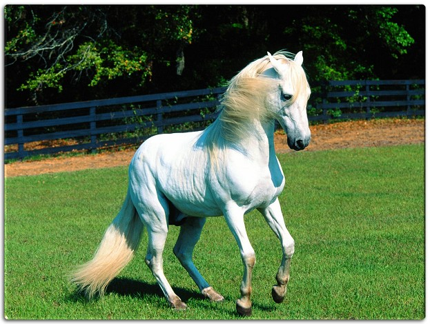 Beautiful White Horse Jumping Beautiful White Arabian Horse