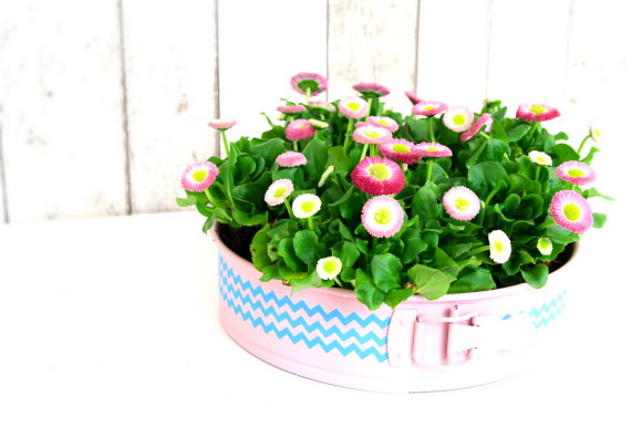 Bellis im Upcycling-Blumentopf