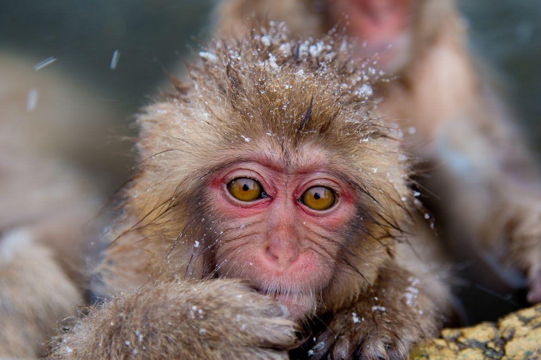 15. Snow monkey