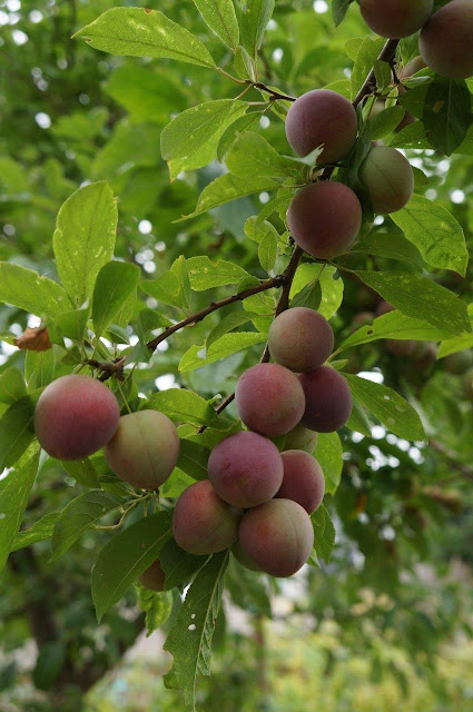 Japanese plum tree loaded with unripe plums.