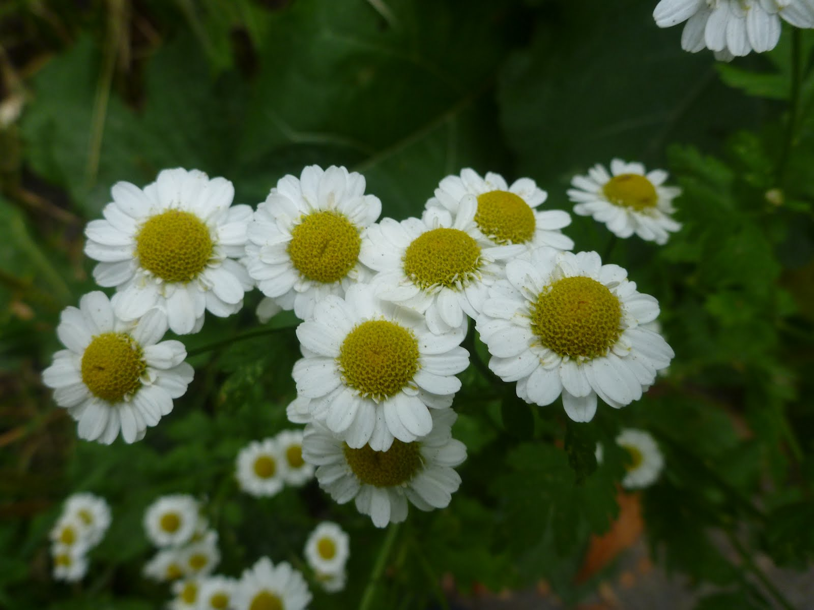 Basteraceae Bflowers