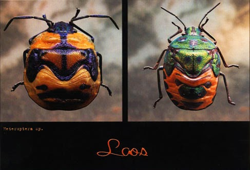 Picture of Lao insect postcard photographed by Xavier Gourmelon 2003