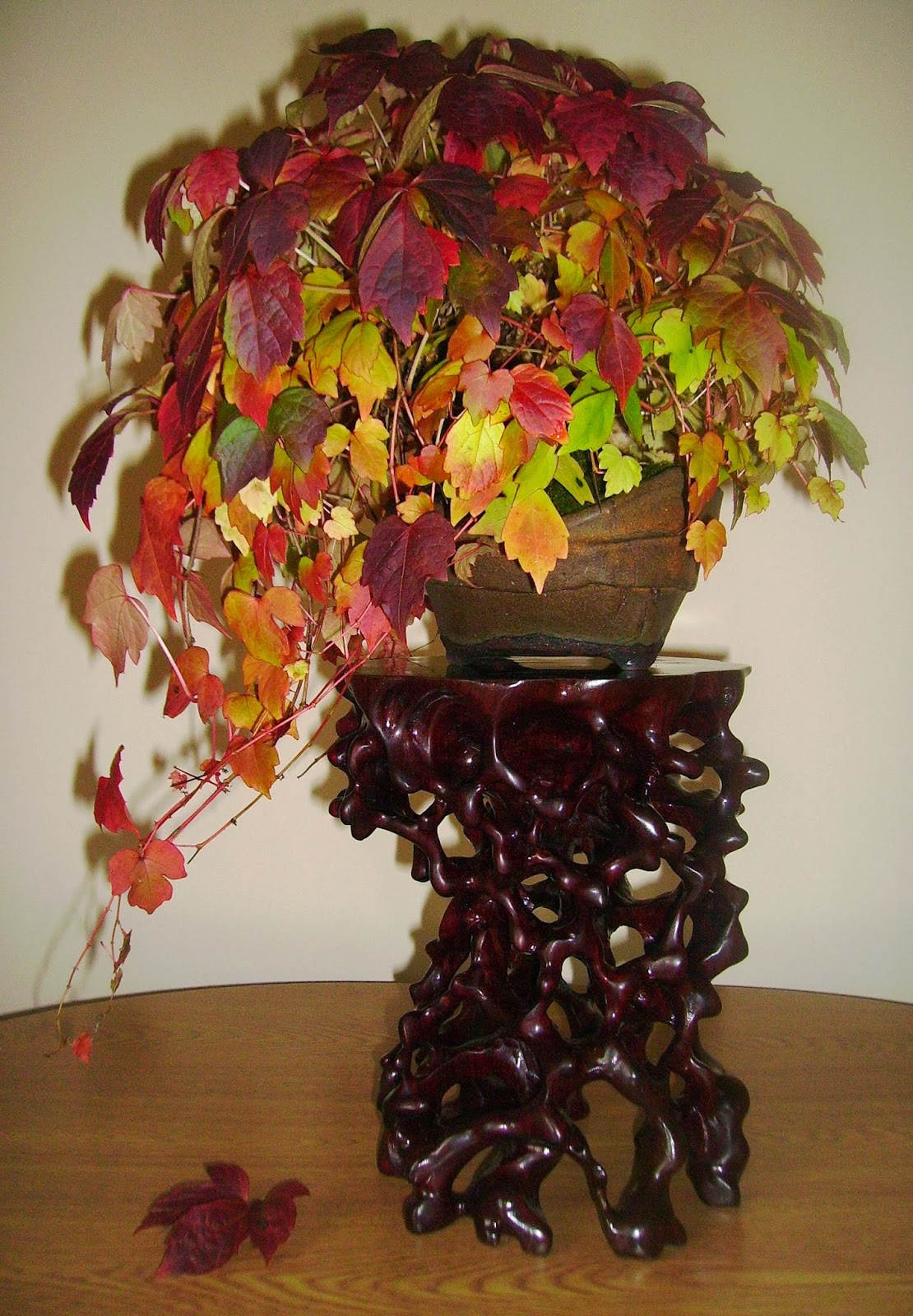 Bespoke Bonsai Stands Autumn Colour On My Boston Ivy