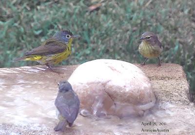 Annieinaustin, maybe Nashville warbler w 2 birds
