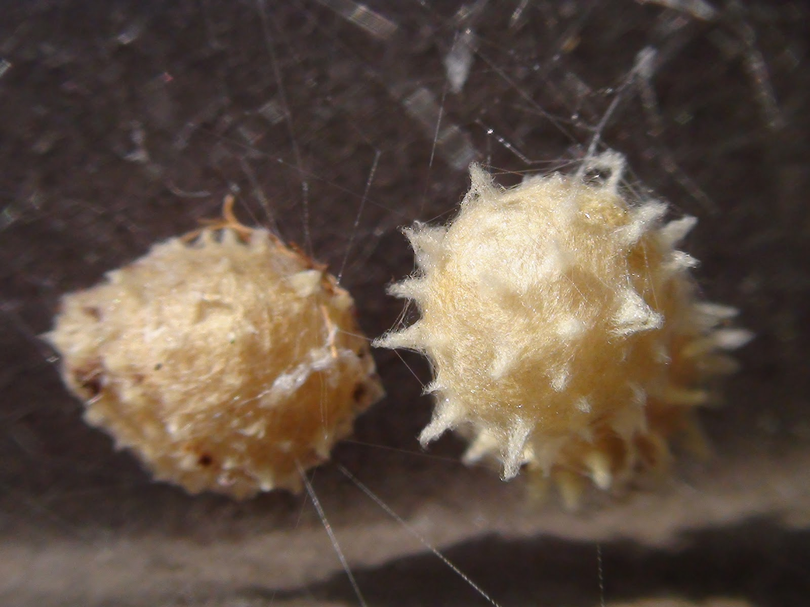 Black widow spider eggs - photo#2