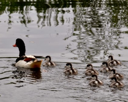 adult shelduck with chicks