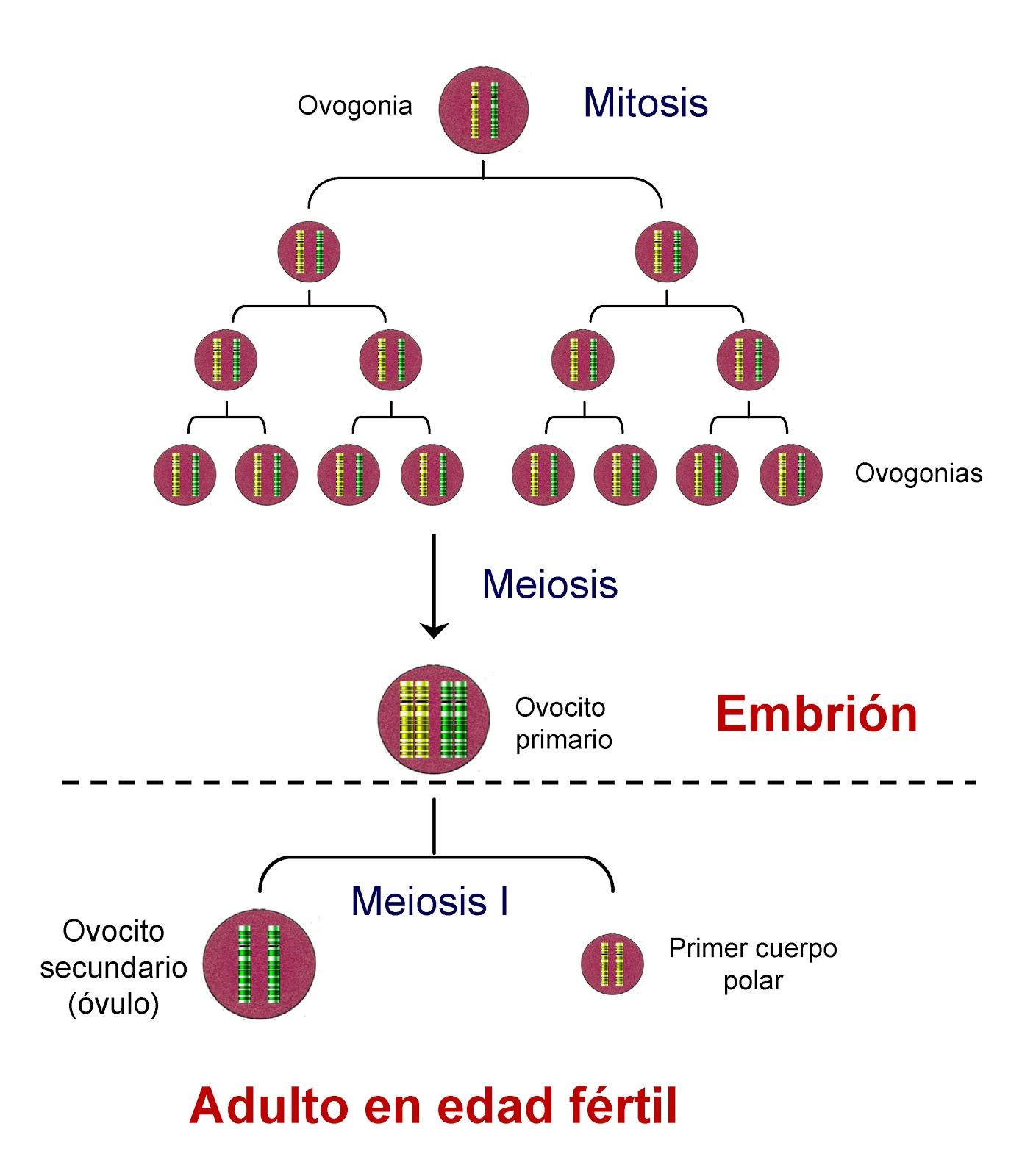 Mitosis y meiosis durante la etapa embrionaria y en edad fértil
