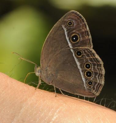 Mycalesis sp.