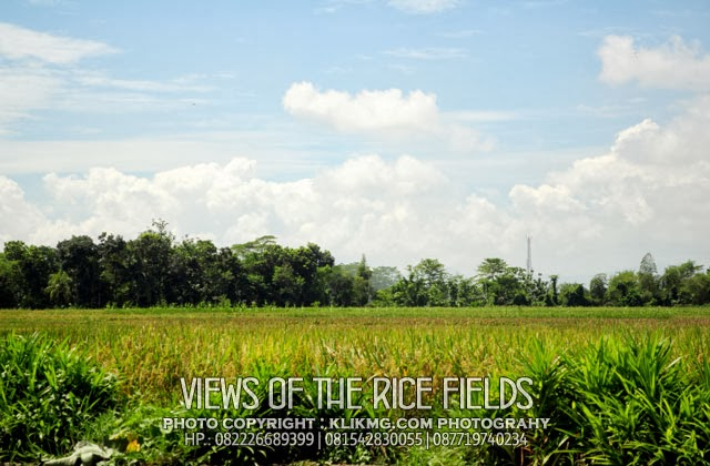 Views of Indonesian Rice Fields | Pemandangan Sawah Indonesia (1) - Photo by. klikmg.com photography Fotografer Purwokerto / Fotografer Banyumas