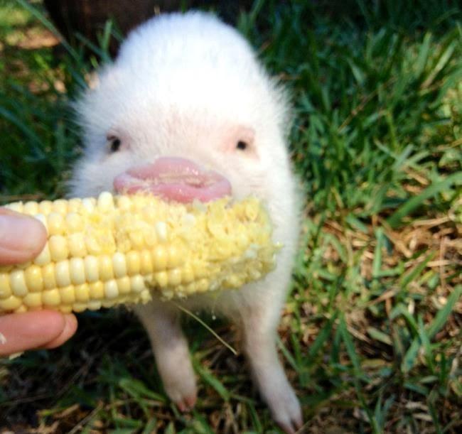 Worlds cutest piglet - photo#12