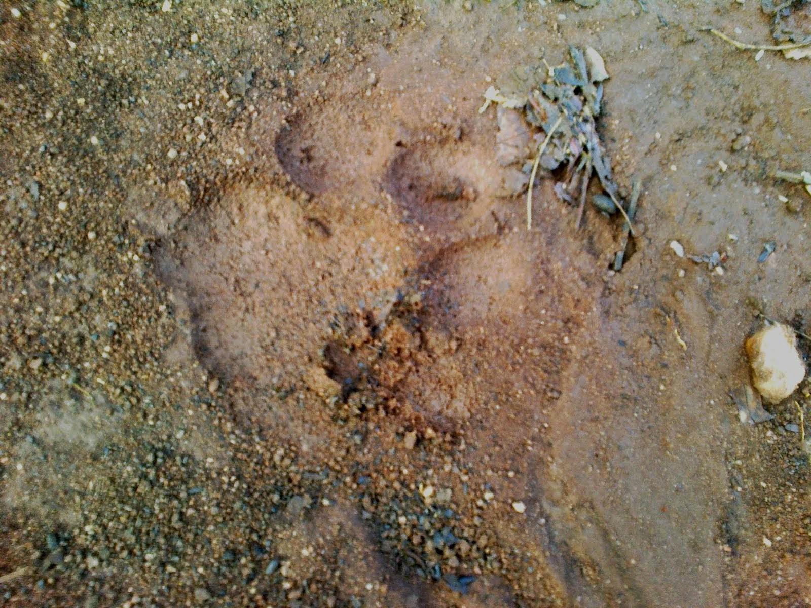 Foot Print of Tiger