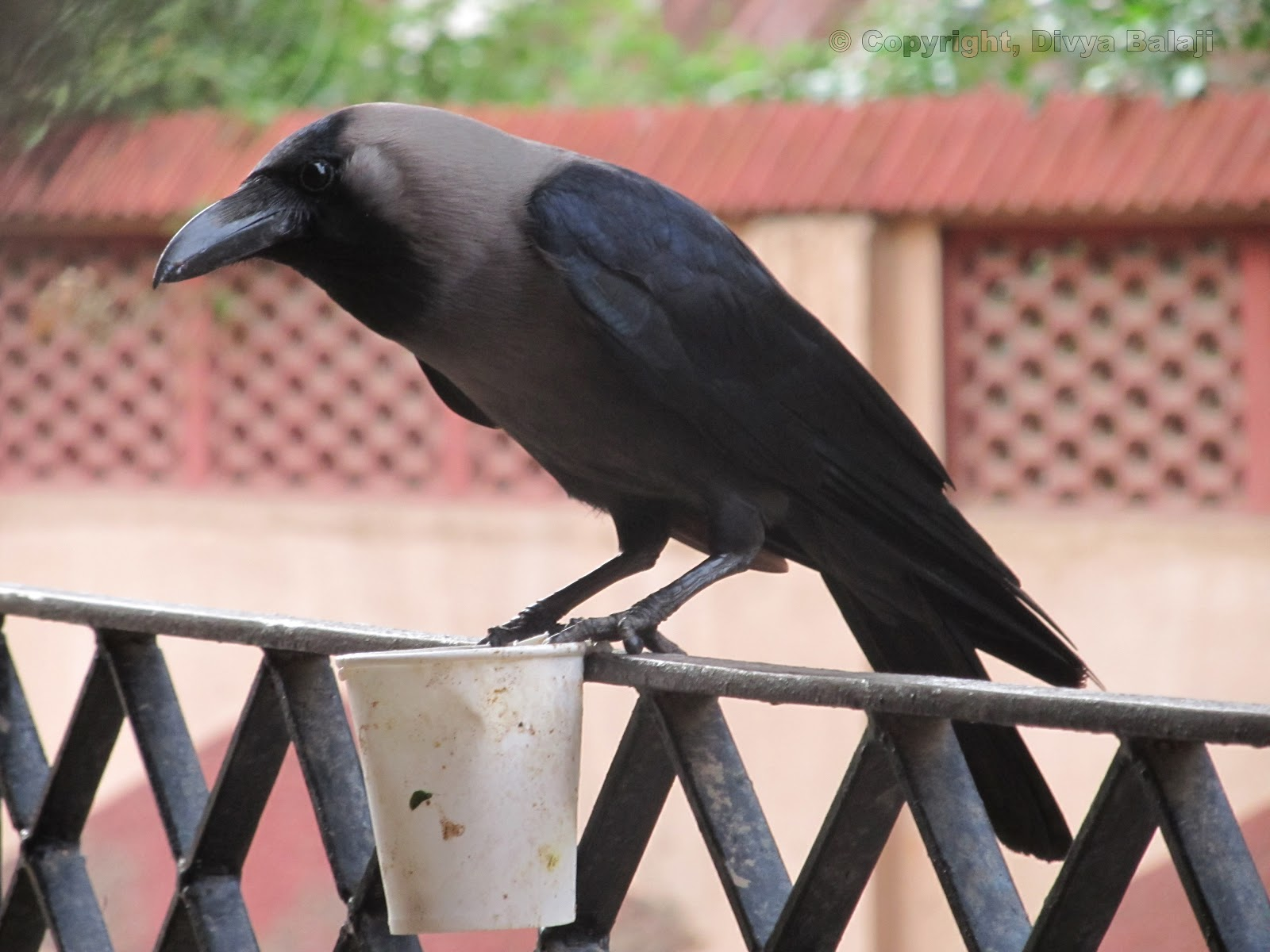 Crow holding cup in its claws