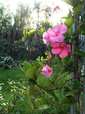 Mandevilla in a garden, Maja Trochimczyk
