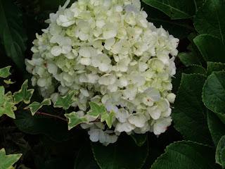 Jual Pohon Hortensia | Bunga Rotensia Putih