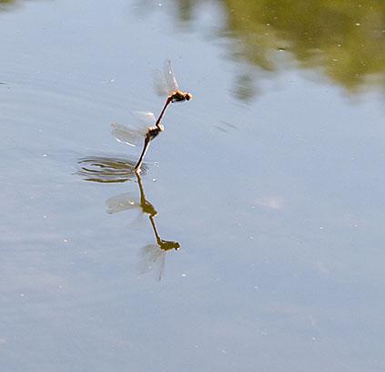 Common Darters in tandem, ovipositing. Sympetrum striolatum.  Keston Common, 8 September 2012.